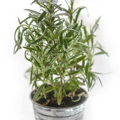 Rosemary essential oi