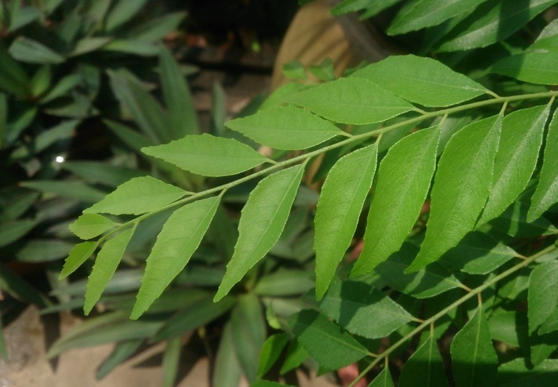 https://upload.wikimedia.org/wikipedia/commons/0/0f/Indian_Curry_Tree_(Murraya_koenigii).jpg