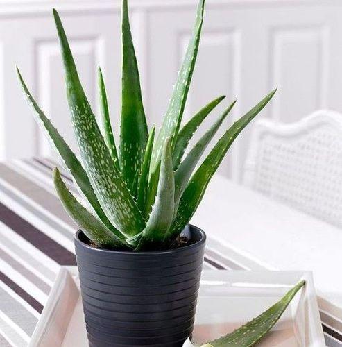 5- Aloe Vera