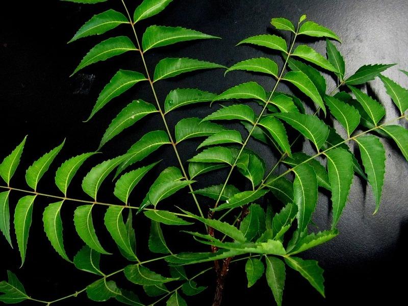 http://maxpixel.freegreatpicture.com/Herb-Neem-Leaves-Neem-651913