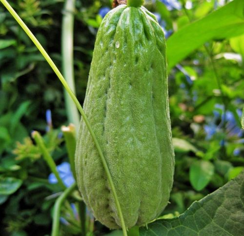 ribbed_gourd